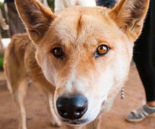 Mansfield, Australien: Pat the Dingo's