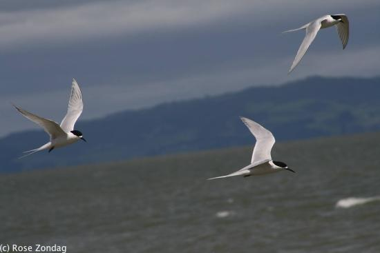 Burke Street Wharf: White fronted terns from the colony in flight.