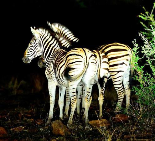 Tuningi Safari Lodge: Zebra