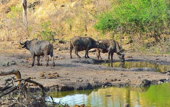 Tuningi Safari Lodge: Buffalo at lodge waterhole