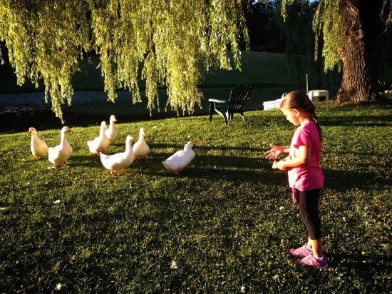 Baumann's Brookside: Ducks