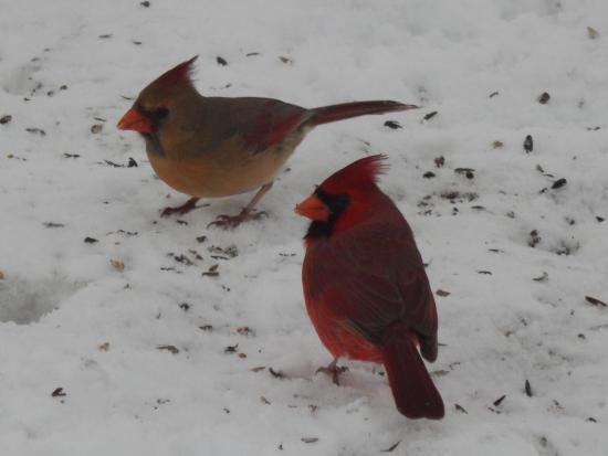 Bunker Hill Inn : Cardinals!