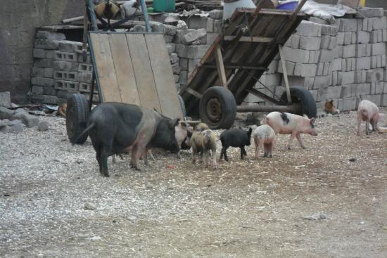 Joal Fadiout : des cochons en liberté