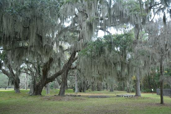 Saint simons island oak trees with spanish moss セント