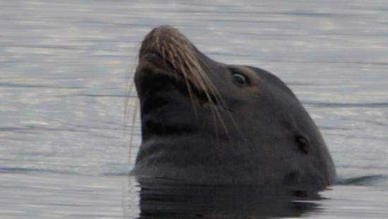 The Waterfront at Potlatch Resort: Sea lion