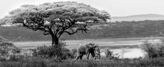 Ndutu Safari Lodge: Elephant on the grounds of Ndutu Lodge