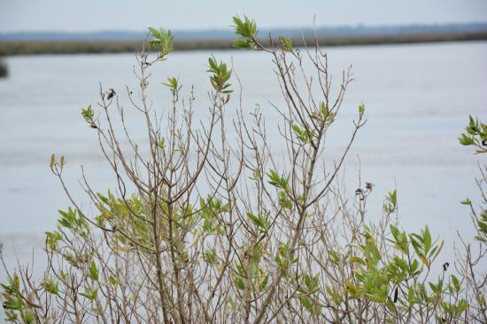 Fort Frederica National Monument: Fort Frederica: Pretty swamp shrub plant.