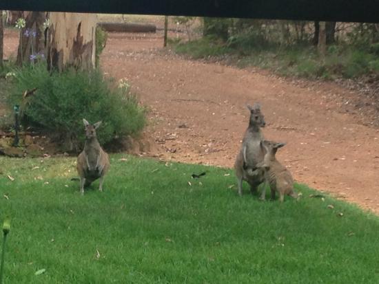 Kangaroo Creek Chalets: Kangaroos!
