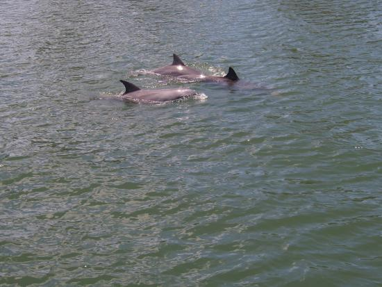 Gold Coast Canal Cruises : Dolphins next to boat