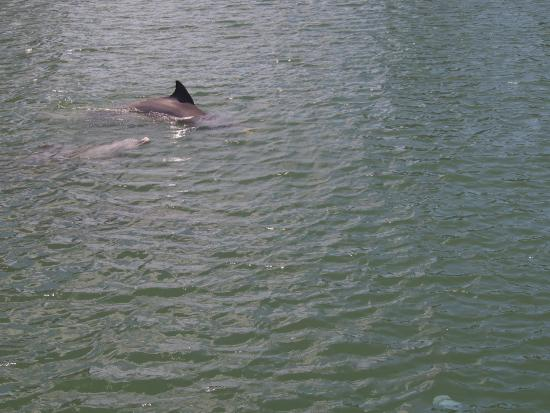 Gold Coast Canal Cruises : Dolphins