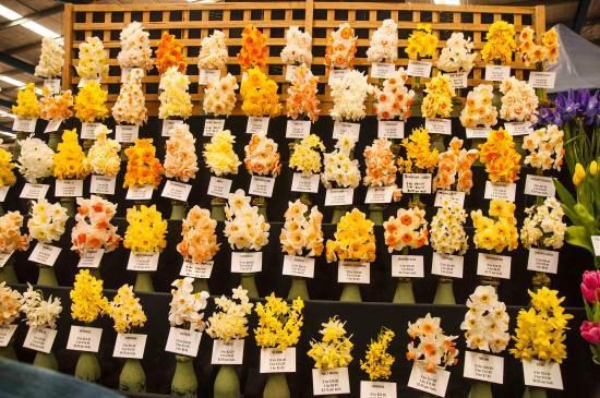 Drouin, أستراليا: Daffodils galore