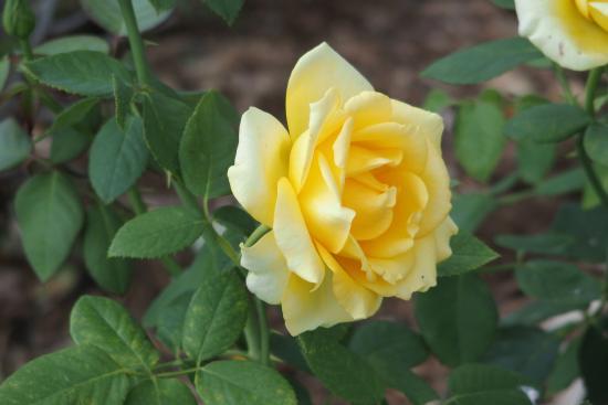 Yellow Rose Picture Of Lake Harriet Rose Garden Minneapolis