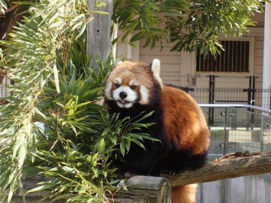 Oshima Park : レッサーパンダ(動物園)