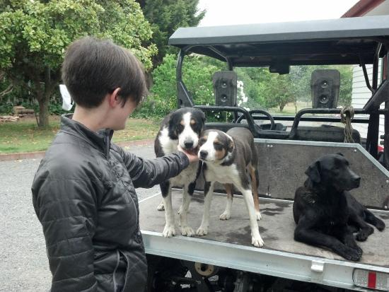 Ludlow Farmstay: Working herding dogs off to work