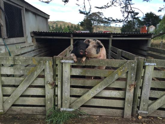 Ludlow Farmstay: Pigs at farmer's house