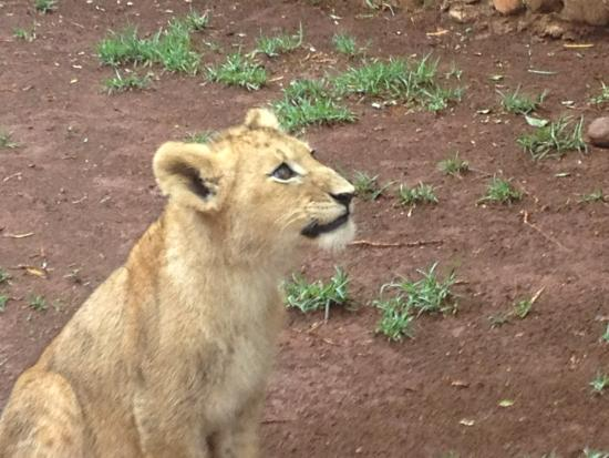 Walk With Lions: paying attention