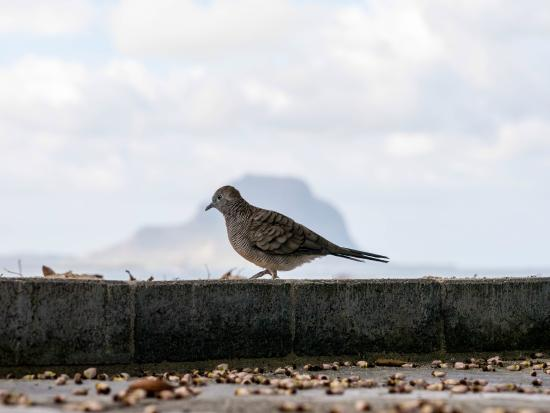 Bird with Le Morne siluette