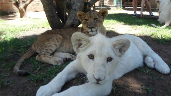 Lory Park: 18 month old lions