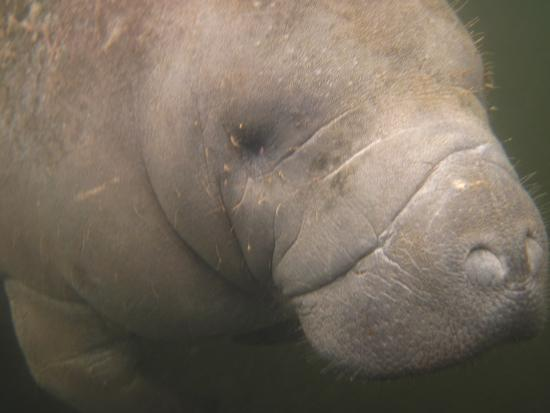 Snorkel With The Manatees: Up close
