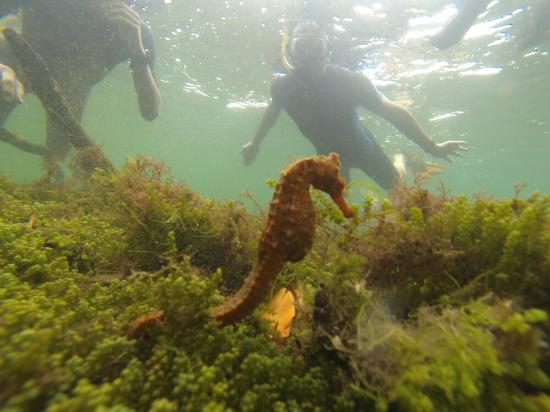 Puerto Villamil, Ecuador: Sea horse
