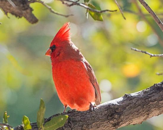 Cochise Stronghold, A Nature Retreat: Male Cardinal