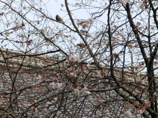 Hirano Shrine: 十月桜に飛びかう鳥たち