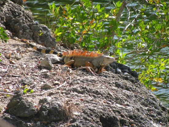 Dagny Johnson Key Largo Hammock Botanical State Park : Lizard in the sun
