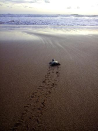 Kosgoda, Sri Lanka: Event of turtle release