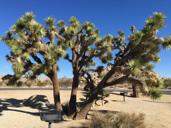 Best Western Joshua Tree Hotel & Suites : Visit the park-It's beautiful
