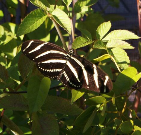 Sanibel Captiva Conservation Foundation: Zebra butterfly