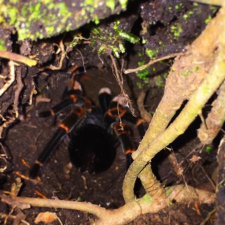 Monteverde Wildlife Refuge : Orange kneed tarantula