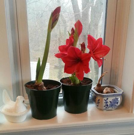 Hockman Manor House B&B: Amaryllis blooming Christmas Day 2014