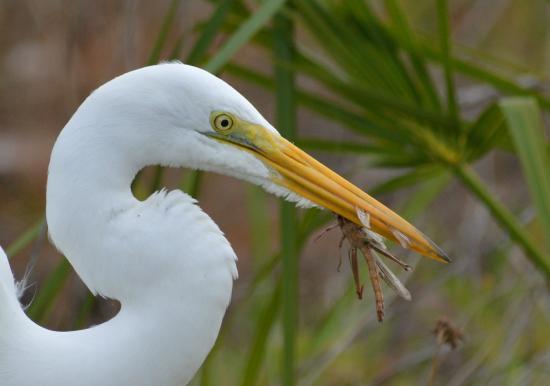Fort De Soto Park: Great egret dining on a grasshopper