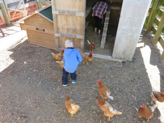 Kauri Lodge: Meeting the friendl chickens