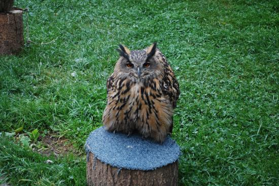 Countrywide Falconry: Elsa the Eagle Owl