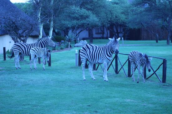 Mongena Game Lodge: Zebras roaming near the rooms