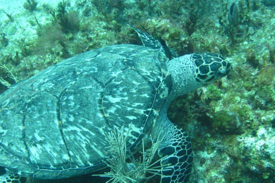 Dive Aventuras: Sea turtle