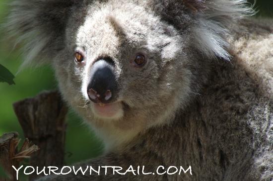 Phillip Island Nature Parks - Koala Conservation Centre