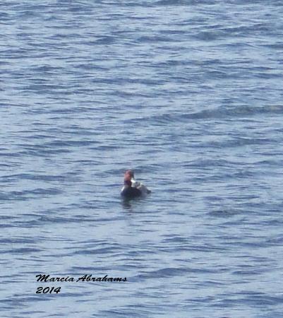 Quiet Waters Park : Redhead Duck 12-4-14