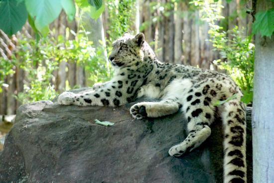 Battle Creek, MI: Raj, the Snow Leopard, enjoying a beautiful day at Binder Park Zoo
