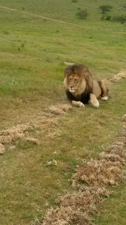 Kwantu Private Game Reserve: Alpah male lion at Kwantu