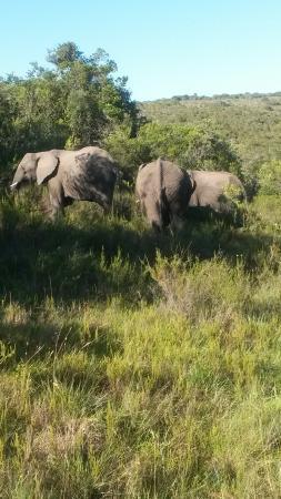 Kwantu Private Game Reserve: Elephants
