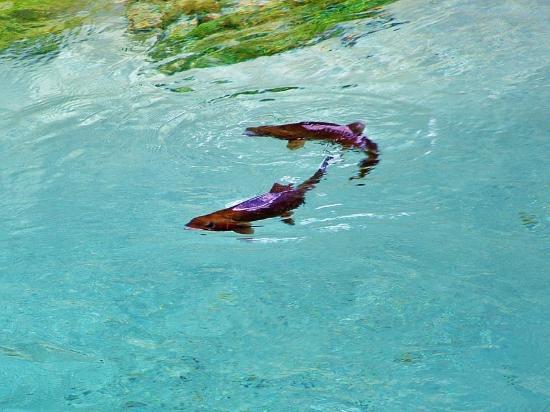 Hamurana Springs Nature Reserve: Trout.