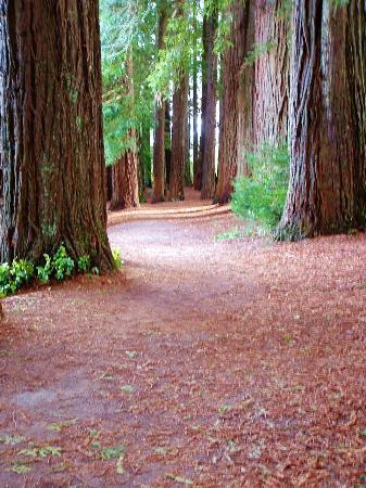 Hamurana Springs Nature Reserve: Redwoods.