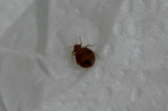 Shawano, Висконсин: Live adult bed bug on a piece of toilet paper.