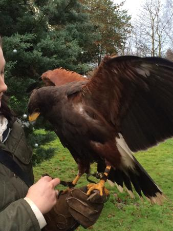 Dalhousie Castle Falconry: Isabella the Harris hawk