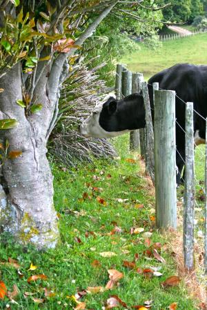 Kairuru, Nieuw-Zeeland: funny cattle, reaching onto my side of the fence for something different to eat.
