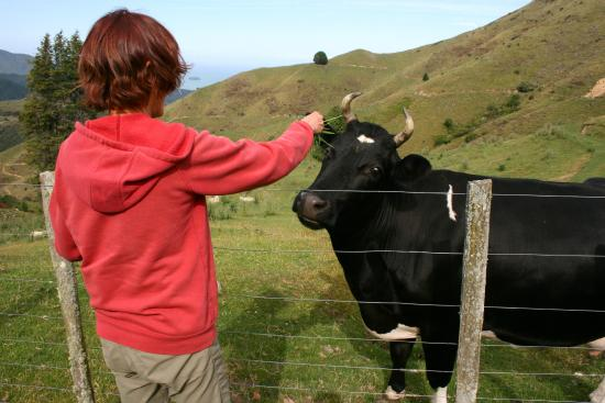 Kairuru, New Zealand: Our friendly Cow, loves pats and being handfed grass.