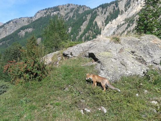 Giardino Botanico Alpino Paradisia : Volpe nel Giardino