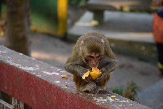 Mahakal Temple: Monkey enjoying his orange